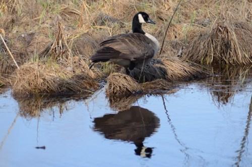 wis bark Canada-Goose