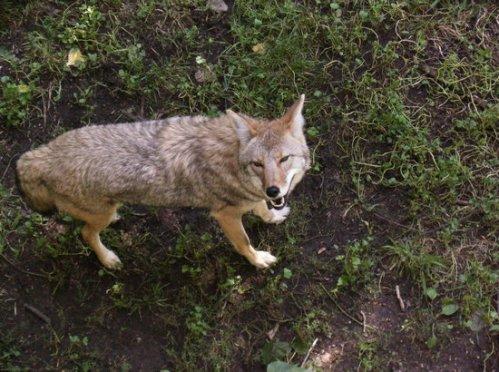 wis bay sanc wolf