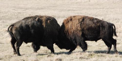 wis oneida buffalo