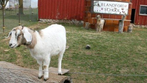 grand blandford goat