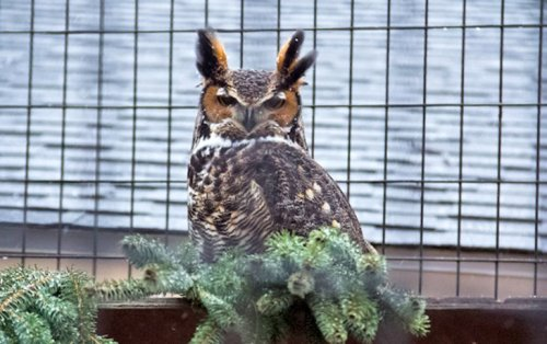 grand blandford owl