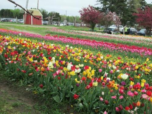 holland veldheer-tulip-garden 2