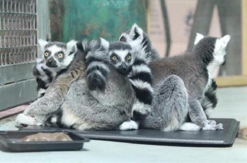 lansing zoo lemurs