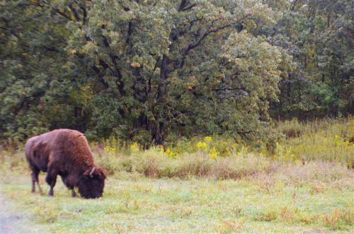 ill buffalo rock bison