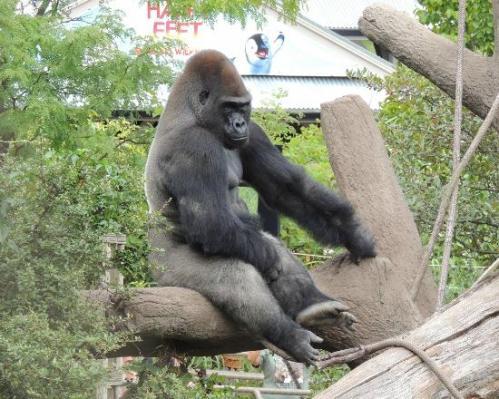 miss zoo gorilla