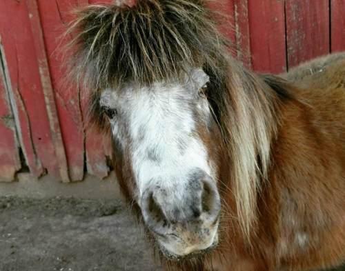 missouri pig horse