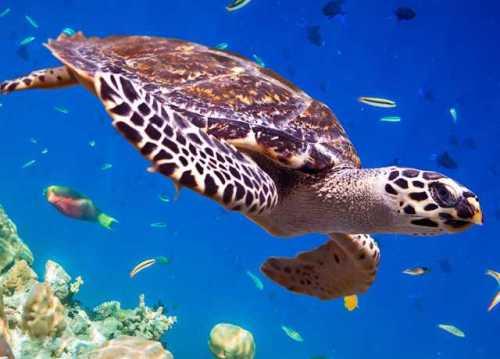 lou aqua turtle