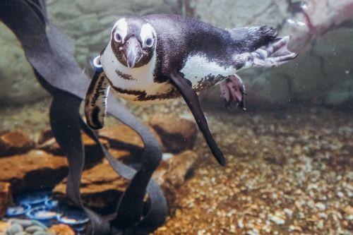 orleans aqua penguin